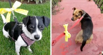 Se você vir um cachorro com um laço amarelo, aproxime-se dele com cuidado: significa que ele precisa de espaço
