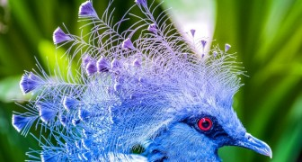 La gura di Vittoria: lo splendido piccione incoronato e dall'elegantissimo piumaggio blu