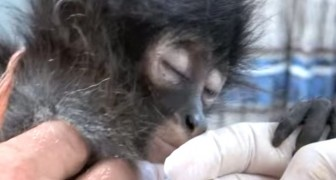 They find a wounded monkey: what the X-ray reveals is shocking !