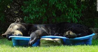 Quest'orso si è intrufolato in un cortile e ha approfittato della piscina per schiacciare un pisolino estivo