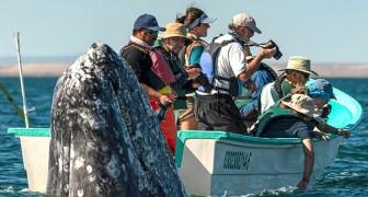 Een fotograaf legt het exacte moment vast waarop een walvis bij verrassing een kijkje neemt bij een boot