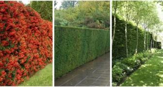 Vous voulez une haie dense qui crée un véritable mur ? Il existe différentes plantes parmi lesquelles choisir