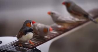 Compositori con le ali: camminando sulle chitarre elettriche questi uccellini creano incredibili melodie