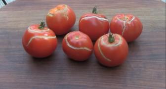 Pomodori spaccati: perché si creano le fessure e come puoi evitarle?