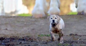 A puppy runs away from home ... his adventure will make you cry!