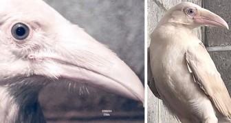 Avvistato e salvato un raro corvo bianco con gli occhi azzurri: ha lottato per sopravvivere