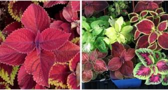 Coleus: riempi di colore la casa con queste straordinarie piante dalle foglie variopinte