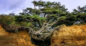 Cet arbre fascinant est suspendu dans le vide et continue à se tenir en équilibre sur ses racines