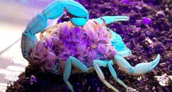 Mamma scorpione e decine di piccoli diventano fluorescenti sotto i raggi UV: il filmato è impressionante