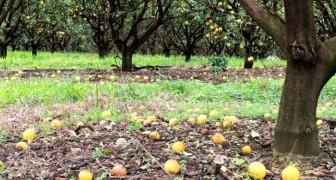 Agricultor não encontra trabalhadores dispostos a colherem frutas cítricas e perde safra de US$ 50 milhões