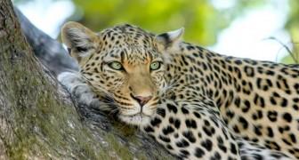 Agricultor decide proteger al jaguar a pesar de los constantes ataques a su rebaño de vacas