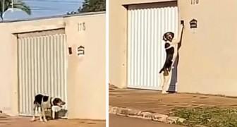 Questo cane chiede ai suoi padroni di entrare suonando il campanello, come se fosse la cosa più normale del mondo