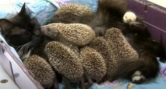 Acht verwaiste Igelbabys weigern sich zu essen, aber dann kommt die Katzenmutter, um sie zu retten