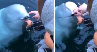 Ihr fällt das Handy ins Wasser, aber ein Belugawal bringt es ihr zurück: das Video der surrealen Szene