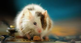 Muizen zweten vet uit hun huid en wetenschappers ontdekken bij toeval een afslankkuur