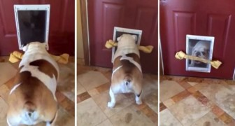 This bulldog tries to defy the laws of physics ... will he find a solution?