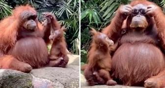 Mamãe orangotango pega os óculos escuros de um turista e os coloca, mostrando para o seu filhote