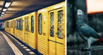 Un pappagallo smarrito è stato ritrovato in stazione e continua ad annunciare l'arrivo della metropolitana