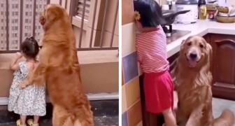 Een lieve Golden Retriever zorgt voor de dochter van zijn baasjes alsof ze zijn oppas is