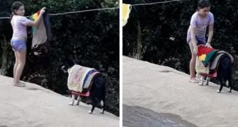 Una bambina si fa aiutare dal suo cagnolino a ritirare il bucato: la mamma riesce a filmare la scena esilarante