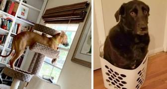 16 cani divertenti che hanno avuto una crisi d'identità e adesso pensano di essere dei gatti
