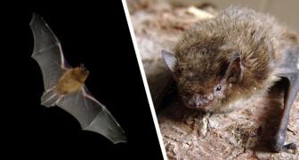 Un pipistrello vola per oltre 2.000 km da Londra alla Russia: la straordinaria impresa di questo maratoneta