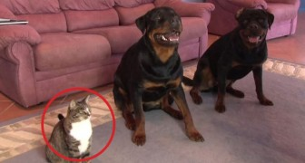The behaviour of these two big dogs is amazing, but you'd never expect this from a cat !