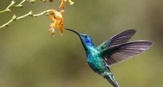 Alcune femmine di colibrì cambiano colore del piumaggio per non essere importunate dai maschi
