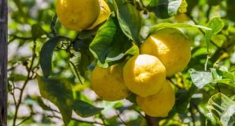 Citronnier : découvrez comment cultiver chez vous de très beaux fruits parfumés
