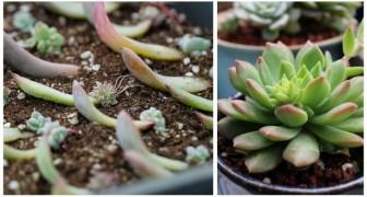 Faites naître de nouvelles plantes à partir de vos plantes succulentes : c'est facile et amusant