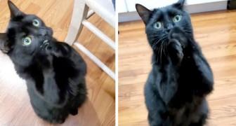 Questo gatto riesce a chiedere il cibo ai padroni pregandoli con le zampine giunte: un fenomeno del web
