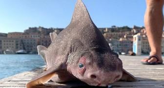 Un poisson-cochon rare découvert en Italie : il grogne comme un porc