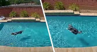 Il profite de l'absence de ses maîtres pour utiliser la piscine : la performance hilarante de ce chien