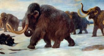Een team van wetenschappers wil de mammoet, die ongeveer 10.000 jaar geleden uitgestorven is, doen herleven