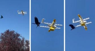Uomo riprende un corvo che attacca un drone di Google mentre sta consegnando cibo