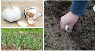 L'autunno è un buon momento per piantare l'aglio: scopri come farlo in modo semplicissimo