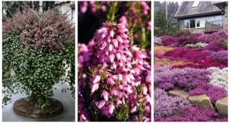 Pianta l'erica in autunno per avere una bellissima fioritura e ravvivare il giardino in inverno