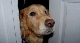 Perro entiende que su dueño está mal: abre los tres pestillos de la puerta y le salva la vida