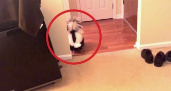 Can you believe a skunk can behave like this? It's so adorable!