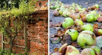 Donna costretta a risarcire la vicina allergica alle vespe per le sue mele marce: attiravano gli insetti