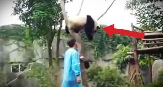 Een panda zit vast in een boom: wat er gebeurt zal u doen glimlachen
