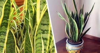 Le dritte migliori per prendersi cura della Sansevieria, la splendida pianta che purifica la casa
