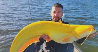 Pescatore trova un pesce gatto enorme e rarissimo: è giallo brillante