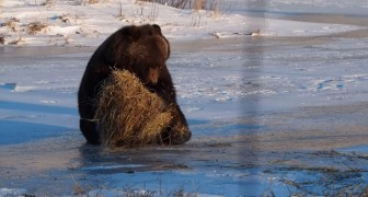 Ein Bär findet einen Heuballen: Was dann passiert, ist SPEKTAKULÄR