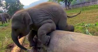 Un éléphanteau contre un tronc d'arbre: que la bataille commence!