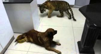 Tigre vuole bere dalla ciotola del cane