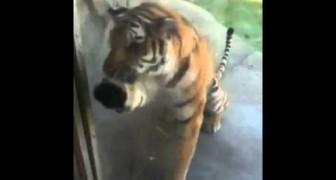 Tigre vuole indietro le sue pantofole