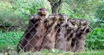 The caretaker of the shelter approaches the otters: their reaction is priceless !