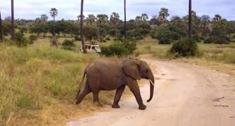 Deux éléphants traversent la route, mais il y a une troisième surprise à venir!