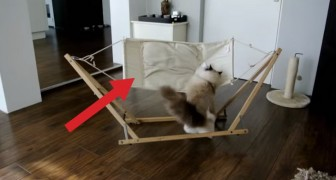 They give their cat a new hammock: its first attempts to get on it are hilarious !